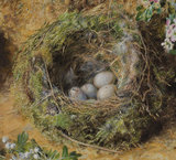 Chaffinch nest and May blossom (detail)