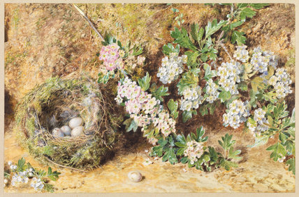 Chaffinch nest and May blossom
