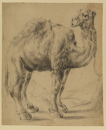 Dromedary with tether