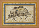 Camels fighting