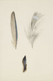 Enlarged Studies of the Feathers of a Kingfisher's Wing and Head, and a Study of a Group of the Wing Feathers, real Size