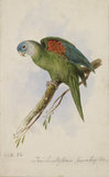 Trichoglossus Pyrrhopterus (Orange-winged Lorikeet), 1836