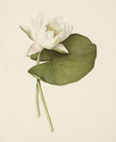 Study of a Waterlily