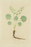 "Drawing of an Illustration in the ""Herbal of Benedetto Rin"", showing an Alchemilla Plant"