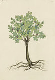 "Drawing of an Illustration in the ""Herbal of Benedetto Rin"", showing a Fig Tree (""Ficus"")"