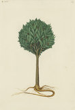 "Drawing of an Illustration in the ""Herbal of Benedetto Rin"", showing a Tamarind Tree (""Arbor de Tamarindis"")"