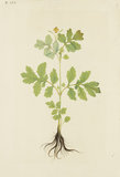 "Drawing of an Illustration in the ""Herbal of Benedetto Rin"", showing a Lesser Celandine (""Celidonia minor"")"