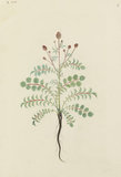 "Drawing of an Illustration in the ""Herbal of Benedetto Rin"", showing a Pimpernel Plant (""Pinpinella"")"