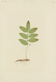 "Drawing of an Illustration in the ""Herbal of Benedetto Rin"", showing a ""Mezeuzialis"" Plant"