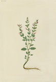 "Drawing of an Illustration in the ""Herbal of Benedetto Rin"", showing a ""Cameropa"" Plant"