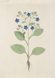 "Drawing of an Illustration in the ""Herbal of Benedetto Rin"", showing a Borage Plant (""Borago"")"