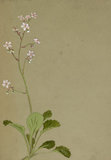 Study of a flower spray, possibly saxifrage