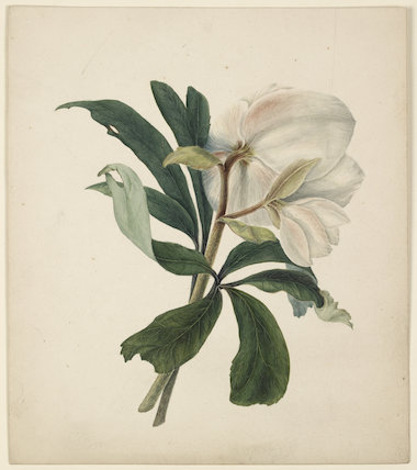 Study of a Christmas Rose