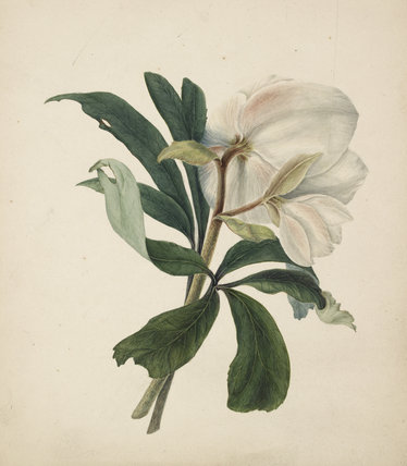 Study of Christmas Rose