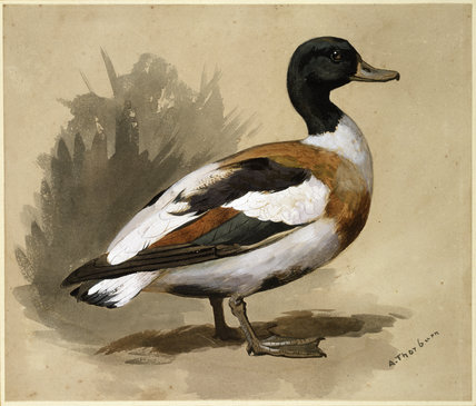 Study of a Shelduck