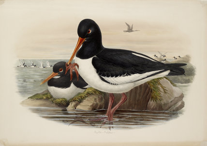Oyster-Catcher