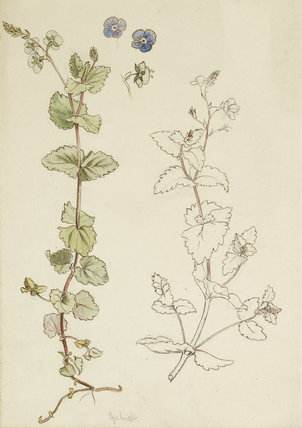 Two studies of Eyebright (or Speedwell?) and three detail studies of the flowers