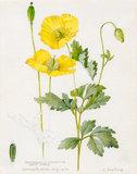 Meconopsis cambrica. Welsh Poppy