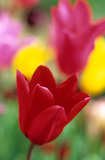 Tulipa 'Red Shine'