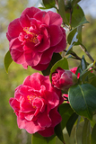 Camellia × williamsii 'William Carlyon'