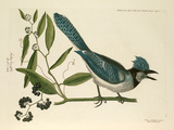 'Pica cristata coerulea, The Crested Jay'