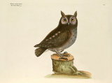 'Noctua aurita minor, The Little Owl'