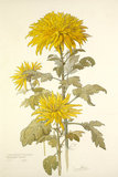 Chrysanthemum 'December Gold'