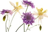 Scabious and Aquilegia