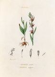 'Orchidées. Ophrys abeille. Ophrys apifera'