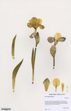 Herbarium specimen of Iris '€˜Smarty Pants'