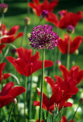 Allium hollandicum and Tulipa