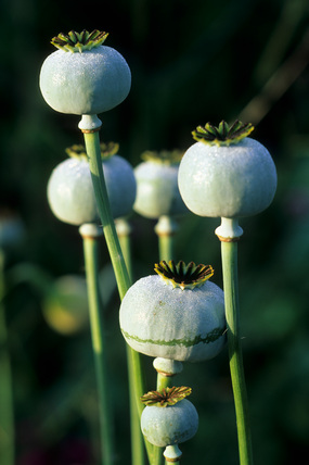 Papaver somniferum seedheads