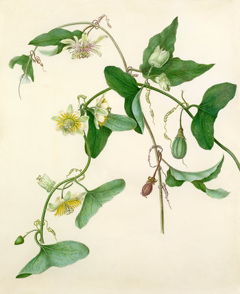 Passiflora misera