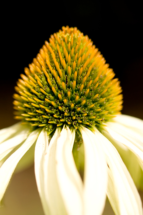 Echinacea flower head