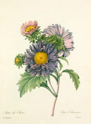 Aster de Chine : Aster Chinensis