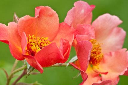 Rosa [Morning Mist] = 'Ausfire'.