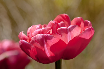 Tulipa 'Wedding Gift'