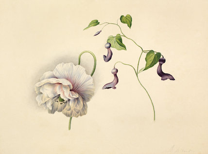 [Papaver orientale with Aristolochiceae]