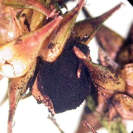 Anthracoidea karii