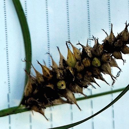 Anthracoidea subinclusa