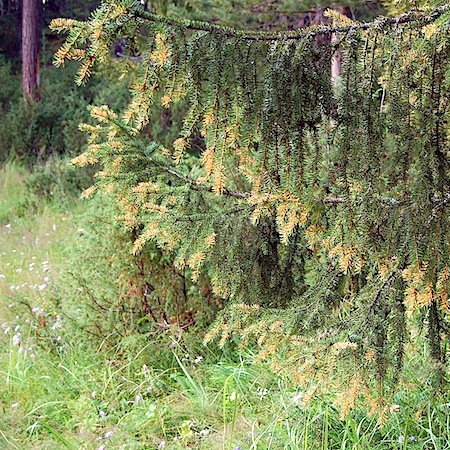 Chrysomyxa abietis