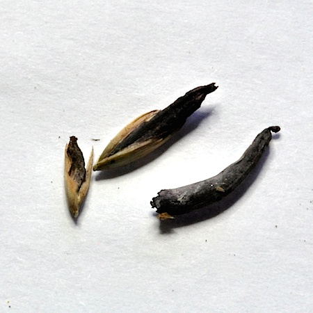 Claviceps purpurea
