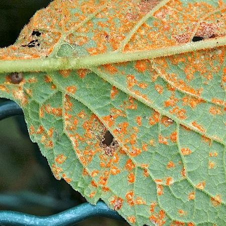 Coleosporium campanulae
