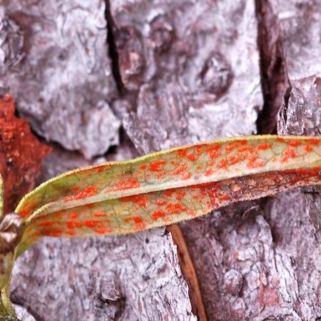 Coleosporium melampyri