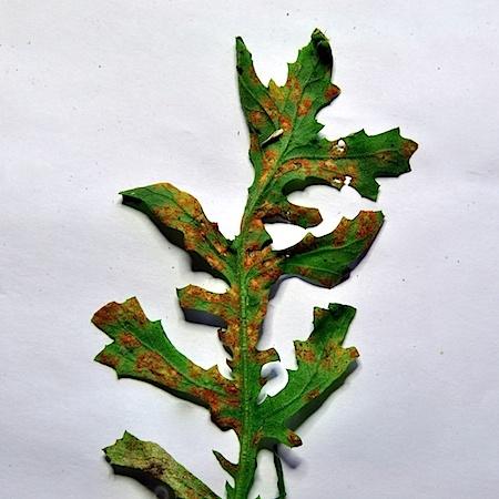 Coleosporium senecionis