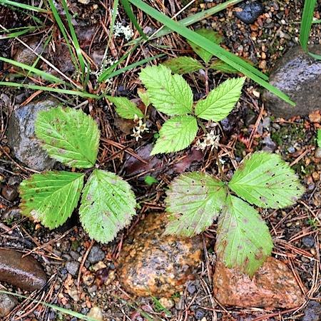 Coryneopsis rubi