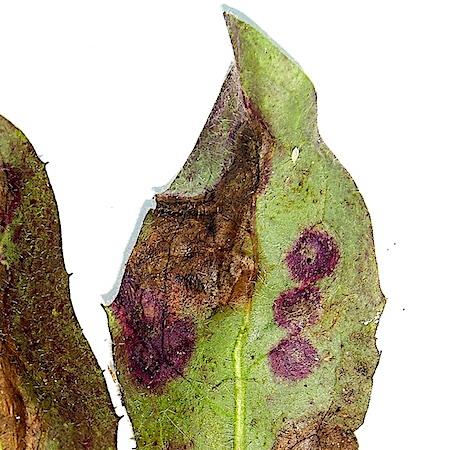 Entyloma hieracii