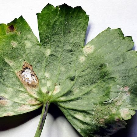 Peronospora ranunculi