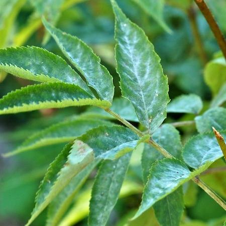 Erysiphe vanbruntiana