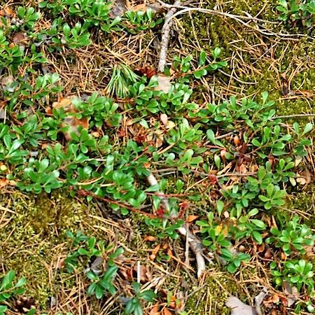 Exobasidium arctostaphyli